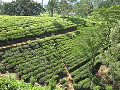 (Lil nev) Tags: lines landscapes asia tea hill srilanka teaplantation