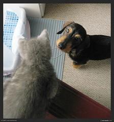 IMG_1202_web (IONclad) Tags: winter dog cat canon ian grey kitten feline december alone gray kitty powershot solo link davis huxley 2007 korat dec07 a540 winter07 ionclad