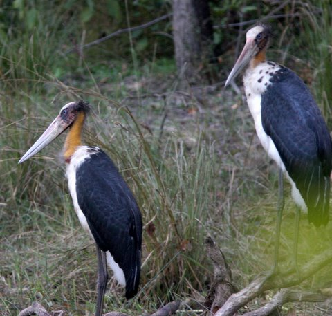 Lesser Adjutant Stork, Kanha 221207