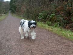 A jog through the woods (dandavie) Tags: dog tibetanterrier running terrier tibetan tt sprint leighwoods