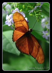 Hang in there (CampCrazy Photography) Tags: cambridge orange ontario flower digital canon butterfly bug insect fly wings conservatory dryasjulia stockshot wingsofparadise diamondclassphotographer flickrdiamond ilovemypic