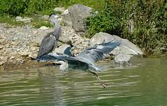Hron cendr (Luciano 95) Tags: bird heron water birds animal animals switzerland nikon nikond70 wildlife nikkor excellence naturesfinest giuss95
