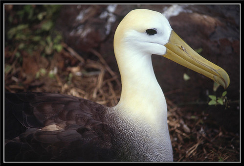 Waved Albatross (Phoebastria irrorata)
