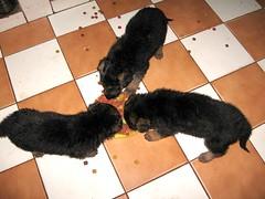 Tres pastorcitos (javi270270) Tags: pet perro cachorro picnik pastoraleman