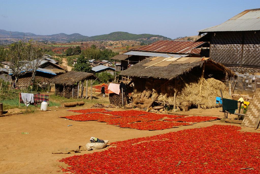 Chili peppers laid out to dry