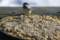 Chickadee Eating Bird Pizza