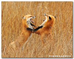 Together, they rejoiced! . . . . . . . .  (Red Foxes at Bombay Hook, National Wildlife Refuge in Delaware - 9 of 9, full story)