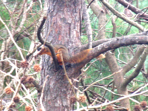 CrabAppleLane Fox Squirrel - February 5, 2008
