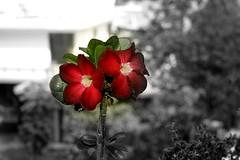 Exotic Flowers (Swami Stream) Tags: flowers red bw india beautiful canon rebel balcony bangalore exotic karnataka swami adenium swaminathan xti 400d swamisream swamistreamcom