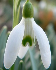 Spring is Coming!!! (Tracy783) Tags: white flower macro green early spring snowdrop platinumphoto diamondclassphotographer flickrdiamond theunforgettablepictures macroflowerlovers