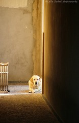 Gypsi is very sad. (Lella Sodr ) Tags: brazil color luz dogs animals olhar labrador sad natureza supershot passionphotography mywinners abigfave platinumphoto goldenphotographer diamondclassphotographer lelasodr thegoldproject