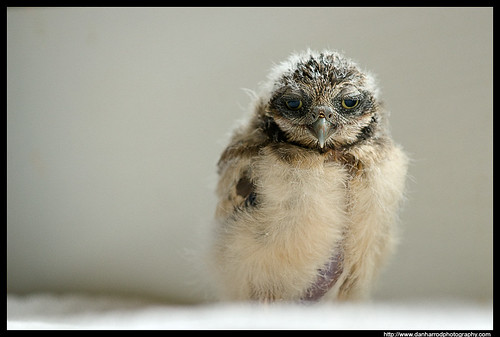 Burrowing Owl Chick 1