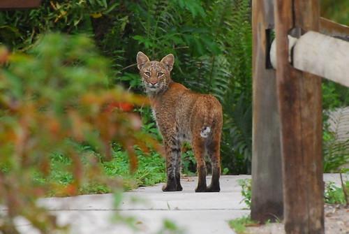 Bobcat ,Loxahatchee wildlife park,Florida,29apr08 par Pervez 183A