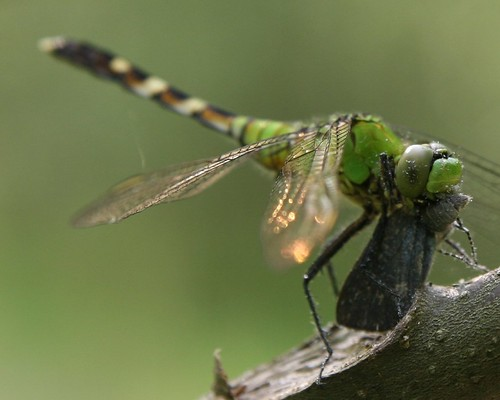Dragonfly Chow