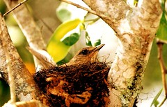 ninhego (Edison Zanatto) Tags: brazil bird southamerica brasil nikon ninho pssaro ave pssaros vogel pjaro nikonn90s americadosul sdamerika fujicolorprovalue200 filme35mm continentesulamericano edisonzanatto