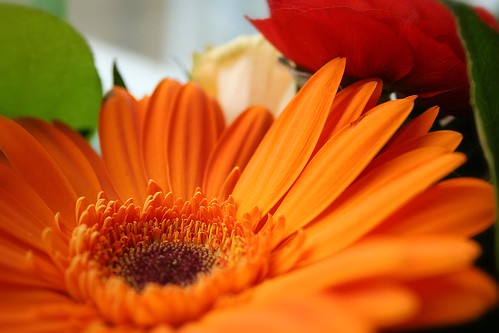 IMG_3610_orange gerbera