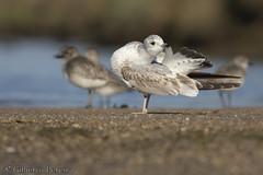 Larus canus (LdrGilberto) Tags: gaivota parda mew gull larus canus hidrohide ave bird nature natureza laruscanus mewgull commongull