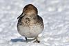 Canard pilet --- Northern pintail ---  Anade rabudo (Jacques Sauvé) Tags: canard pilet northern pintail anade rabudo