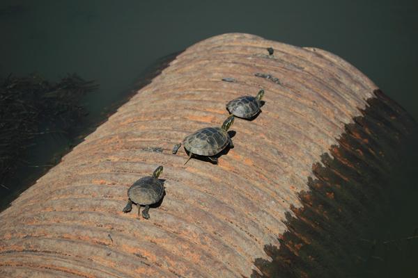 turtles_original