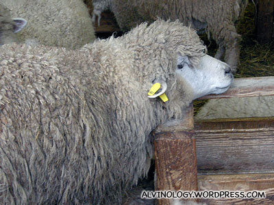A lazy sheep that hung its head on the ledge to stay awake