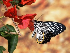 Common Mime butterfly (ner_luv ) Tags: butterfly ner aizawl mizoram commonmime mzu tanhrilcampus