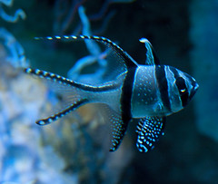 Banggai Cardinalfish 2 by ahisgett, on Flickr