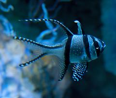 Banggai Cardinalfish 2 by ahisgett, on Flickr