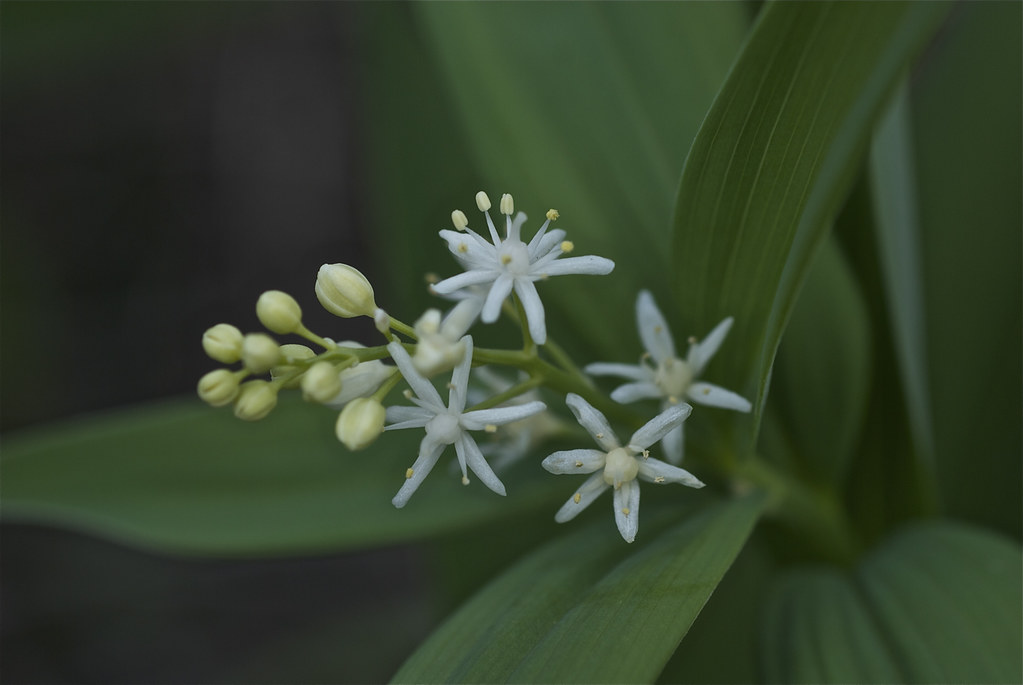 Star Solomon's Seal