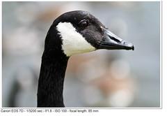 2011_06_04_2955 (John P Norton) Tags: fauna goose f18 aperturepriority ef85mmf18usm focallength85mm 13200sec canoneos7d copyright2011johnnorton