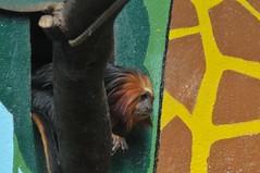Goldkopf-Lwenffchen (Ulli J.) Tags: france zoo frankreich royan zoodelapalmyre lapalmyre charentemaritime poitoucharentes goldenheadedliontamarin goldkopflwenffchen tamarinlionttedore