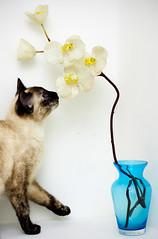 Pandora & Orqudea [Pandora & Orchid] (Jim Skea) Tags: orchid flower azul closet flash flor nikond50 plastic gato gata vase pandora curiosity vaso cheirando plstico orqudea smelling curiosidade jimsk asfloresdeplsticonomorrem speedlightsb600 nikkor50mmf18daf tortoiseshellpoint