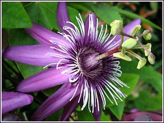 Purple Passion Flower or Maypop (Passiflora incarnata) at Sungai Buloh nursery #2 (jayjayc) Tags: white flower green purple explore malaysia passiflora passionflower naturesfinest tropicalgarden passifloraincarnata sungaibuloh supershot flickrdiamond ysplix explore20071112 jayjayc