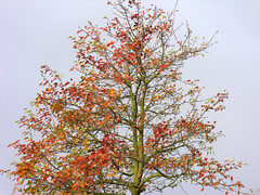 red automn tree DSCN2971.NEF (gevan) Tags: trees winter summer cold tree nature early autum dusk branches herfst super lovely leafs colourfull