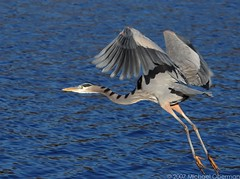 Over Open Water (ozoni11) Tags: bird heron nature birds animal animals fly flying wings wing greatblueheron herons gr