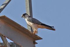 032054-IMG_4818 Grey Falcon (Falco hypoleucos) (ajmatthehiddenhouse) Tags: greyfalcon grayfalcon falcohypoleucos falco hypoleucos sa southaustralia bird 2007 australia