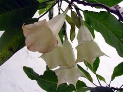Brugmansia sp. Angel's trumpet. (Linda DV) Tags: white flower blanco fleur geotagged whiteflower flora flor nightshade tenerife wit blanc bloem brugmansia solanaceae angelstrumpet solanales lindadevolder