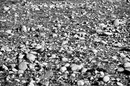 Rocks And Rocks - a lot of stones in a field in Stayton Oregon