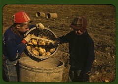 Children gathering potatoes on a large farm, v...