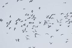 145  , Larus ridibundus, Common Black-headed Gull & Larus brunnicephalus, Brown-headed Gull (pseudolapiz) Tags: larusridibundus commonblackheadedgull brownheadedgull larusbrunnicephalus