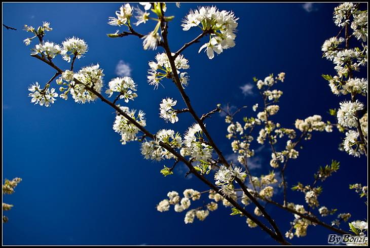 苗栗鹿場櫻花盛開