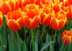 Tulips on fire (Shutter_Hand) Tags: camera orange usa flower fleur beauty digital fire dallas flora sony flor tulip tulipas blomma fuego 花 blume fiore naranja bestofflickr dallasarboretum tulpen tulipaner çiçek tulipes dallasblooms tulipan 꽃 郁金香 チューリップ tulipani bestphoto kukka цветок फूल miguelmendoza naturewatcher novideoonflickr virtualjourney top10placestovisitinthespring गुलदस्ता