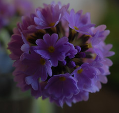 primula head (Hazy Days) Tags: flower macro garden spring purple lilac primuladenticulata theunforgettablepictures micronikkor55mmlens