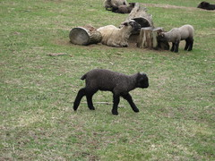 Baby lambs aplenty