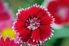 Dazzling dianthus (naruo0720) Tags: plant flower macro nature closeup nikon loveit dianthus d300 springflower fantasticflower brillianteyejewel colourartaward flowersarefabulous qualitypixels awesomeblossoms