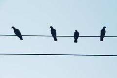 (uma konappalli) Tags: blue sky nature lines birds four nikon monotone minimalistic pune tekri d80 challengeyouwinner