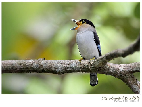 Silver-breasted broadbill/?????????????????????