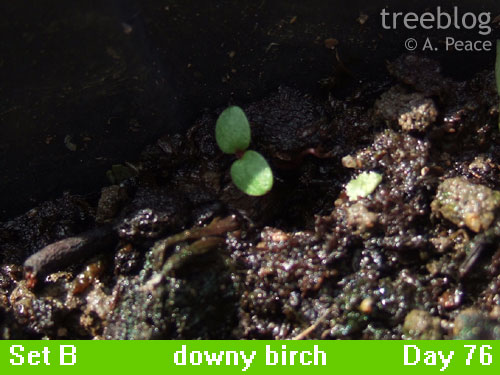 downy birch seedling