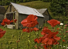 Pyrenean Poppies (Fr Antunes) Tags: red france explore poppies papoilas arreau hautespyrenees