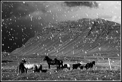 And Then Came The Flickr Snow (Sig Holm) Tags: horses island iceland islandia sland islande icelandic islanda islndia hestar hestur skorradalur borgarfjrur ijsland islanti slenskur  slendingar   anawesomeshot  slenskt         greatshotss