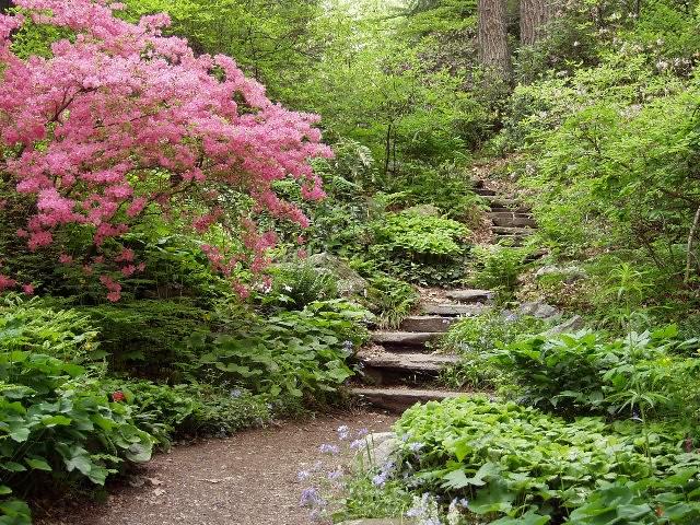 newenglandwildflowerorg_Spring-Azalea-steps-A_LisaMattei